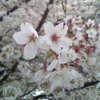 桜(タケ)