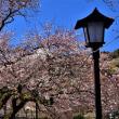 今日の桜・・・