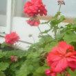 冬こそ赤い花・・・いま人生一番の充実期であるらしい夫