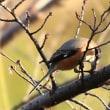 鶴見緑地の 小鳥 カワラヒラが目立ってきてます