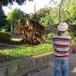 台風で倒れたユリの木の巨木