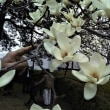モクレンの花咲くころ