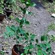 挿し木してきたレンギョウを植える