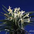 富貴蘭「珠黄」根変わりの花