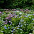 紫陽花の楽園