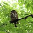 無事に大ケヤキの「雛フクロウ」が巣立つ