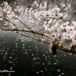 サクラ・桜・SAKURA