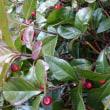 ヤブコウジの赤い実の魅力が高まってきた。日本の庭には欠かすことができない