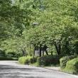於大公園の花 : マンデビラ ・・・ いよいよ夏休み、いよいよ花火大会、プールも始まります。