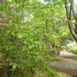 八重桜も散る