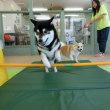 幼稚園体験にきてくれた【ハルちゃん】(*^-^*)  犬のしつけ教室@アロハドギー