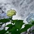 紫陽花の季節5・・・【いな】