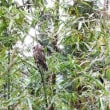 ミーちゃん、元気でね!窪田保育所でオオコノハズクを放鳥