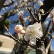 春の香り。~早咲きと遅咲き~