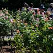旧古河庭園バラフェスティバル・・5