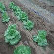 ふくたち、収穫開始。