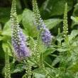 雨に濡れた庭の花、チダケサシ他
