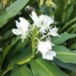 食用菊の栽培