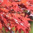 楓の紅葉って・・・。