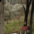 春を告げる梅