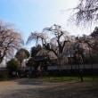清雲寺のしだれ桜 ~2012/04/13 08:00現在