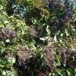 トウネズミモチ   大量の果実。