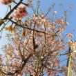 桜つれづれ