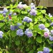 今年のアジサイの花の写真をお楽しみ下さい