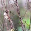 6/25探鳥記録写真(鞍手町の鳥たち:オオヨシキリ、ヨシゴイ証拠写真ほか)