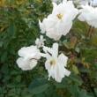 白バラも素敵♪
