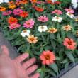 新しい花色が増えた、ジニアプロフュージョン
