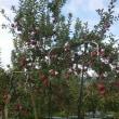 りんごの葉摘み作業・・・の巻