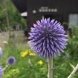 瑠璃玉の花