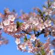 早咲き桜は満開