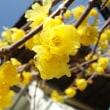 蝋梅の咲く頃