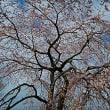 『桜便り』 化粧坂