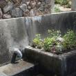 フジバカマを植える