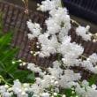 白いレースを思わせる繊細な花!