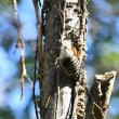 続報・コゲラの巣穴 見沼自然公園
