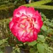 秋のバラを見に~旧古河庭園 2