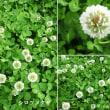 シロツメクサの花は