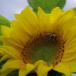ひまわり畑 Sunflowers