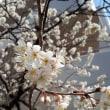 さくらんぼの桜今年は★