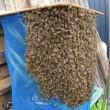 ミツバチ分蜂