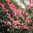 桜の塩漬けスコーンと、梅。