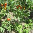ミニトマト最盛期