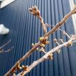 桜の季節が近づいて… ^_^