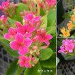 カランコエの花は