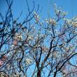 向島百花園/ 梅の季節   2018-02-20
