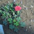 我が家の お花様達 763